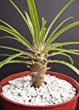 """Pachypodium Geayi @ Rare Madagascar Palm Plant Cactus Cacti Caudex Bonsai 4"""" Pot, grown at Exotic Cactus Collection"""