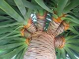 Seeds and Things 10 PLUS Dracaena draco DRAGON TREE SEEDS