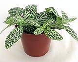 Silver Nerve Plant - Fittonia Verschaffeltii - 2.5 Pot by JM BAMBOO