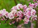 Hardenbergia Violacea Rosea - Happy Wanderer Rare Tropical Plant Vine Seeds (15)