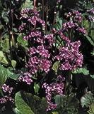Bergenia cordifolia Red Beauty (Rotblum) 1,000 seeds