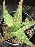 Aloe Saponaria in Their 4 inches Pot