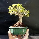 Perfect Bonsai - Portulacaria afra - 5 year old plant