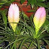 100/bag Tillandsia Seeds Tillandsia Cyanea Bonsai Flower Seeds rare flower for home decoration
