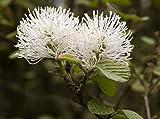 Fothergilla Major 'Mount Airy' (Hamamelidaceae)