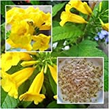 Yellow Bells (Tecoma stans) Seed Packet, 50 count