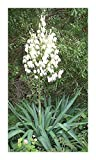 Exotic Plants Yucca aloifolia - aloe yucca - spanish dagger - 10 seeds