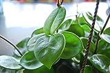 "Hoya Carnosa ""Chelsea"" Flowering Exotic Flowering Wax House Plant - Easy Care"
