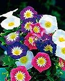 Seeds flower Convolvulus tricolor mix from Ukraine 1 gram