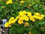 "LANTANA - NEW GOLD - GROUND COVER - MULTI COLOR - 3 PLANTS -3"" POTS"