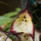Dracula Simia Monkey Face Flower Seeds, 1 Professional Pack, 100 Seeds / Pack, Rare Orchid Seeds #05