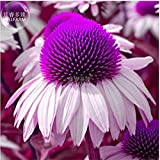 New Echinacea White Petals Purple Centre Perennial Flower 30+ Seeds
