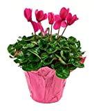 KaBloom Live Plant Collection: 12'' Pink Cyclamen Plant in a 6'' Pink Covered Pot