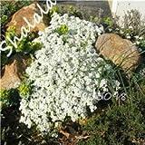 Rare Flower Seeds 100 Pcs Aubrieta Seeds Superb Perennial Ground Cover Plant - Rock Cress Seeds Tropical Ornamental Plants 6