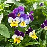 David's Garden Seeds Flower Viola Helen Mount (Edible) SL1442 (Multi) 100 Non-GMO, Heirloom Seeds