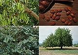 Carob Tree (Ceratonia siliqua) - 30 Fresh Seeds Chocolate Tree - Bonsai ideal