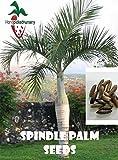 25 Spindle Palm seeds, ( Hyophorbe verschaffeltii ) from Hand Picked Nursery