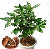 5 pcs japanese cinnamon seeds dwarf trees seeds indoor bonsai pot container garden plant
