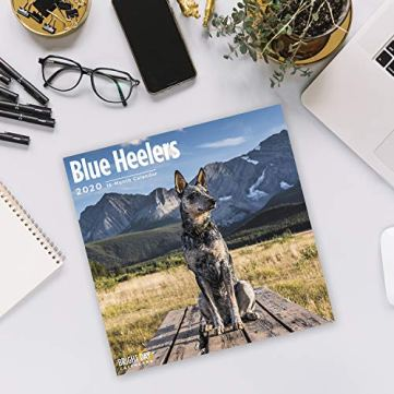2020-Blue-Heelers-Wall-Calendar-by-Bright-Day-16-Month-12-x-12-Inch-Cute-Dogs-Puppy-Animals-Australian-Cattle-Canine-ACD-Queensland-Heeler