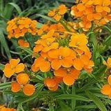 50+ Orange Siberian Wallflower Flower Seeds / Erysimum / Perennial