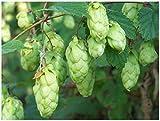 blunekorn 10 Hops, Humulus lupulus, Perennial Vine Seeds