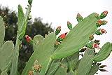BULK FRESH PADS Edible Cactus Organic Super Food - Tortoise Turtle Iquana Pet