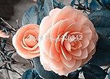 Orange pink camellia japonica flower seeds 50pcs camellia seeds bonsai sementes de flores for flower pots planters Seeds