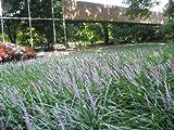 Classy Groundcovers - Liriope muscari 'Big Blue' {25 Bare Root Plants}