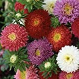 China Aster Seeds - Powderpuff Mix - Packet, Red/Pink/White/Purple Flowers