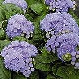 50 Seeds Ageratum Hawaii Series Blue Annual