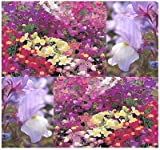 (20,000) FAIRY BOUQUET Toadflax Flower Seeds - Linaria maroccana