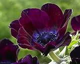 Van Zyverden Wind Flowers - Anemones Meron Bordeaux- Set of 25 Bulbs, Blackish