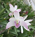 Orchid Insanity -- Aussie Dendrobium kingianum hybrid -- easy beginners orchid confidence-builder hardy and forgiving with fragrant blooms