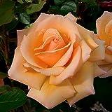 Over The Moon Hybrid Tea Rose Bush - Bareroot