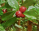 Cattley Red Guava Tree - 2 Year Old