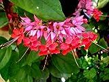 RED Bleeding Heart Vine Live Plant Clerodendrum speciousos Favorite Heirloom Shade Garden Unusual Flower Starter Size 4 Inch Pot Emerald Tm