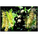Macadamia Nut Starter Tree Plant Hawaiian - 3 Pack #F3