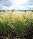 Ornamental Grass Seed - Stipa Tenuissima Pony Tails Seeds