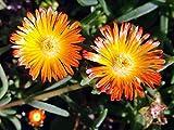Orange Wonder Ice Plant - Perennial - Delosperma - Live Plant - Quart Pot