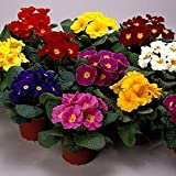 PRIMULA - PRIMROSE 20 SEEDS (Danova grower select mix) FLOWER- Great Pot Plant
