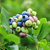 Bluelans 50 Pcs Blueberry Tree Seed Fruit Blueberry Seed Potted Bonsai Seeds Plant