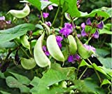 Hyacinth Bean Red Leaved Seeds10g Runner Pole Garden Vegetable Herb Organic Green Fresh Flowering Chinese Seeds for Planting Outside Door Cooking Dish Soup Taste Sweet Delicious(Hyacinth Beans Seeds)