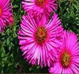 ~ Bulk ~ Pink New England Aster Seeds - Aster novae-angliae Seed ~ Butterfly Gardens ~ Perennial Blooms Zone 3-9 (4 x Packet Size (200 Seeds per Pack))