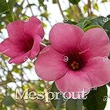 Allamanda violacea Seeds Seeds Petals flower Seeds Bonsai For Flower 100 Seeds 2 #32680021841ST