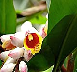 Spiral ginger Seeds - Costus Guanaiensis, Red and White Perennial, Exotic Plant - Zones 8-11 - By MySeeds.Co (100 Seeds)