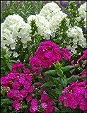 """PHLOX Paniculata ~White, Light Pink, Dark Pink and Purple Mix~ """"Garden Phlox"""" 10+ Perennial Seeds"""