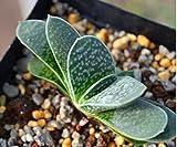 Live Succulent Plant Mini Succulents (Gasteria gracilis Baker)
