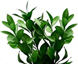 Fresh Cut 150 Ruscus Stems Leaves 20-24`long - Fillers to Make Floral Arrangements