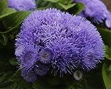 Ageratum 'Blue Mink' (Ageratum Houstonianum Mill.) Flower Plant Seeds, Annual Heirloom