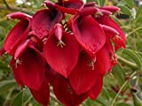 Erythrina Crista-galli - Cry Baby Tree - Rare Tropical Plant Tree Seeds (5)
